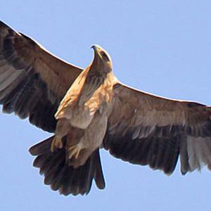 Águila Imperial en Doñana - Doñana Reservas