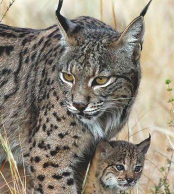 Gato Clavo - Doñana Reservas