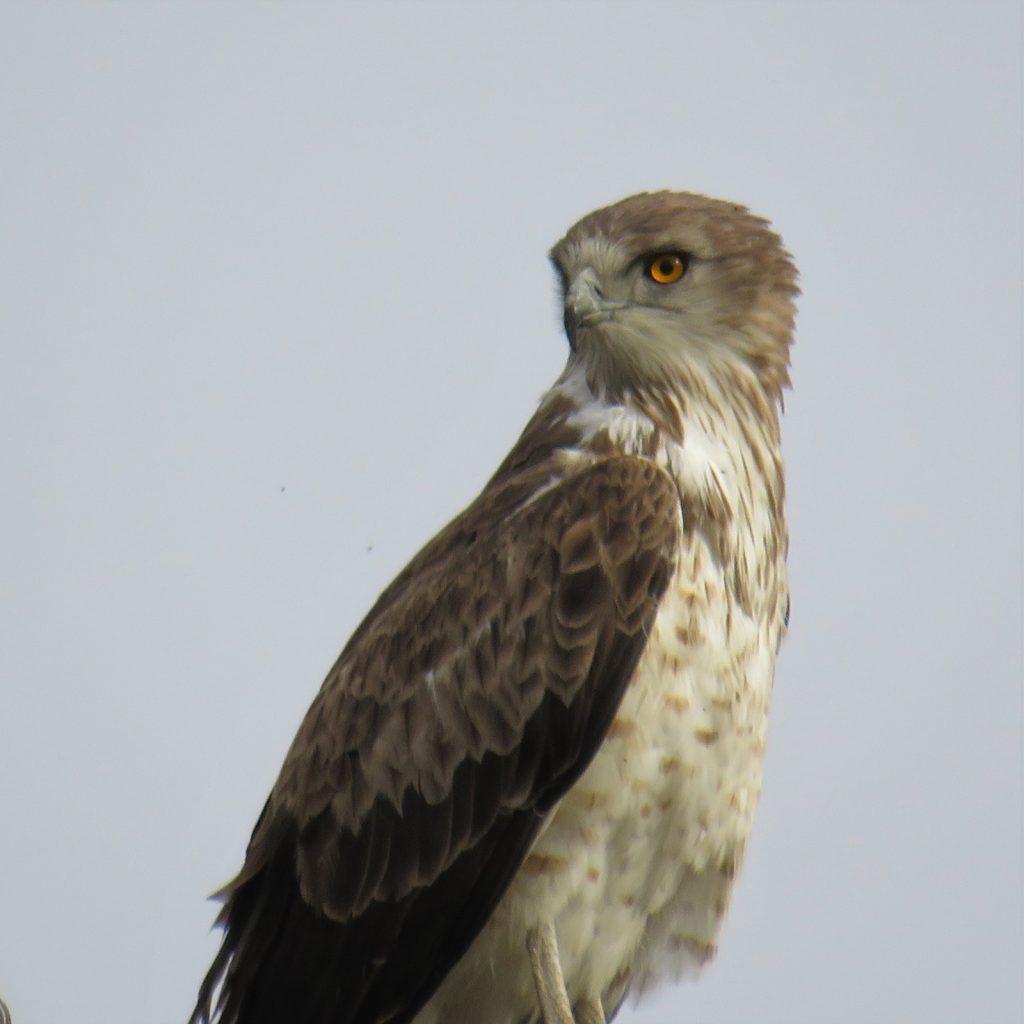 Aguila culebrera europea (Circaetus gallicus)